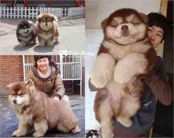 This is Chowsky (Chow Chow + Siberian Husky): http://t.co/h2M3WHliLB