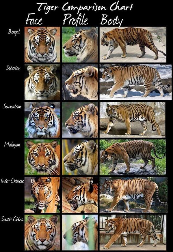 The different species of Tigers illustrated. http://t.co/hqojahgC1i