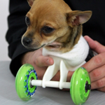 Turbo the Chihuahua Finally Meets the Man Who 3D Printed His Wheelchair http://t.co/BFmV1nqlTJ #fridaysmile