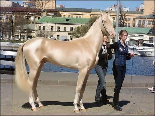 世界で最も美しい馬と認定されたトルコ産馬が話題 http://t.co/Pt3ocCYgn0 http://t.co/A7fkvxxC7a
