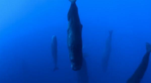 """ビックリ仰天!""""@coodoo: 静寂の神秘「眠るマッコウクジラの群れ」を捉えた貴重映像  http://t.co/hoojyCUwZ3 http://t.co/ZyZ2uIxMup"""""""
