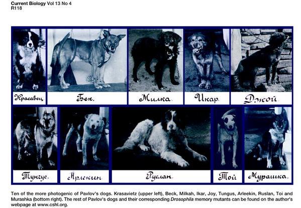 パブロフが飼っていた40頭の犬の名前のリストは http://t.co/v2fFKNp2YD にあり、そのうち37頭の写真は、現在 http://t.co/NaINzKJdFP で見ることができる。どの犬がベルで条件づけされたのかな? http://t.co/CpPMhLvRpW