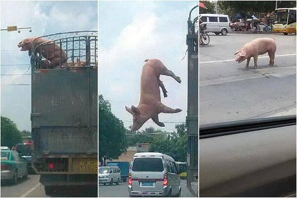 This pig took risk and escaped from a truck for it all for the sake of its freedom! http://t.co/uZWy7nHstH