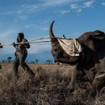 A rare northern white rhino has died in Kenya, leaving just six of the animals left alive http://t.co/X8tAvBoR0h http://t.co/zzgNp5U9Mf