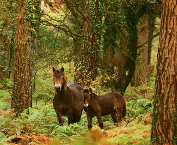 When you walk through some wild woods of Exmoor & find ponies, just the best meeting :) #exmoor http://t.co/xcGwuBU4Yd