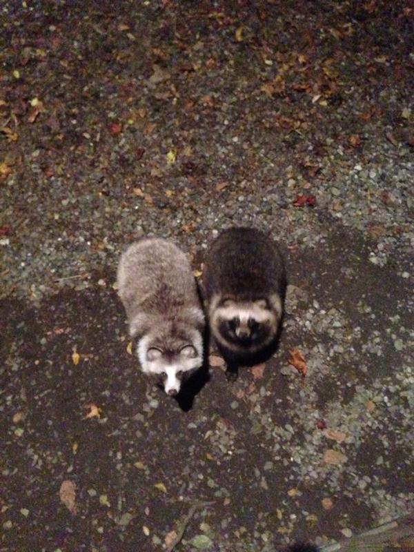 ただいま! って帰ったら、裏庭にタヌキの夫婦がお出迎え。 が、しかし太り過ぎじゃあないの? 君たち(^^;; http://t.co/Ow4PyB2f25