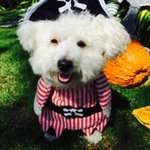 #Halloween costume #3 of 4: Freddie The Pirate! Vote fur your fav ???? #dogslife #HalloweenCostumes #itsadogslife #pets http://t.co/OCbXwGWwi0