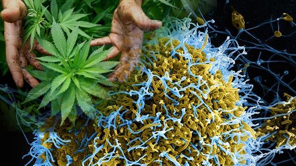 Cannabis contra el ébola: si no protege del virus, evitará que los enfermos mueran http://t.co/0x8IEornl6 http://t.co/aZRbVOi0eY