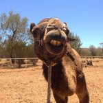 This is Guzzie, he's a bit wonky! Pic: @PyndanCamel #AliceSprings #NTaustralia ???????? http://t.co/FQKmfuwZXy