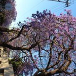 Stunning Jacaranda trees in Pretoria - dont miss out on this magical event in the capital. Only in October. http://t.co/Lu65r88c5v