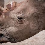 Sobering. @CNN: Only 6 northern white rhinos are now left on Earth. http://t.co/psqX2EzQbE http://t.co/p6W7fzsFne