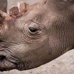 RT @CNNEE: Sólo quedan 6 rinocerontes blancos en el mundo http://t.co/4T6tAx7r77 http://t.co/ycxwVgiwHQ