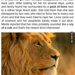 Awesome lions are awesome. http://t.co/bIr6M3Ks6C http://t.co/mrJwhb0Cnz