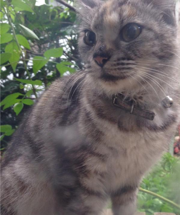 昨日から庭に居座ってるニャンコ。首輪をしているので飼い主さんが探してるはず。元は緑か青に模様の入っている鈴付きの首輪をしてます。 #ねこ #cat #迷いねこ #迷い猫 http://t.co/7xI6WqKvuw