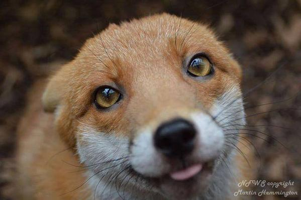 """""""Pudding"""" is a resident Fox at the National Fox Welfare Society, as he's too friendly to be released back to the wild http://t.co/BKTMlxxjV3"""