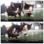 RT @nature_orange: @macha_daichi RT #緊急 #島根 #関東 近郊可能 #猫 #里親募集 @chie_noa: 今日殺処分予定の子猫たちでした。 お願いします。 捨てないで! 生まれて困るなら避妊、去勢をして下さい http://t.co/kVOyBHpHzU #拡散希望
