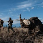 RT @geoffreyyork: can Africa save the rhino? As one endangered rhino dies, others are carried to safety http://t.co/egVuqoVO2f http://t.co/f59znvSDjh