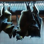 RT @FOX35David: Lets get batty together @orlandoscience on #FOX35 Good Day. Bat-tastic new exhibit. http://t.co/eewE8s0H9X