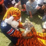 Aubies favorite fall activity is playing with Auburns Tiger cub! #CapitalOneAubie @AubietheTiger01 #WarEagle http://t.co/4AdfvCHq2x