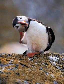 A Puffin Baroo----QUITE rare. http://t.co/EHnLJdHYjO