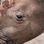 RT @JornalOGlobo: Com nova morte, só restam 6 rinocerontes brancos no mundo. http://t.co/JLorqPfyFe http://t.co/TkMmYKNWTw