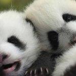 RT @24HorasTVN: La tierna resistencia de dos pandas bebés por evitar tomar su medicina → http://t.co/iDw7WEyaDb http://t.co/u9666yaxGm