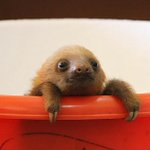 RT this infant sloth if you support the 41,000 gigawatt hour renewable energy target http://t.co/eAZ5KrYPhu