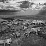 Las leonas durmientes del Serengueti, la mejor #foto de naturaleza del año http://t.co/ltOQtgVGjT vía @hoyextremadura http://t.co/3qV03BzuTf