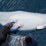 JUST IN: @GeorgiaAquarium aquarium announces Beluga whale pregnancy. Due spring 2015 http://t.co/bZIb1KU9TM http://t.co/dhiqm6Fqfo