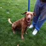 Found a #missing #dog in #Boise without tags. Looks like a chocolate lab mix. If you know who he is let me know!!! http://t.co/sayw23hCvD