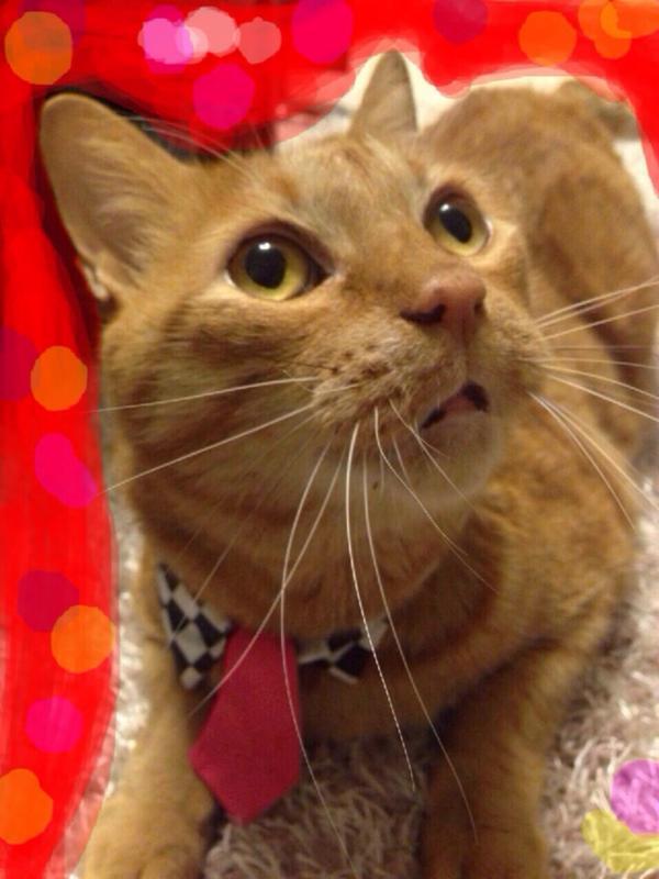 あびこメイドのホカクドウ猫つけ襟。   @IKUObass190 さんの愛猫みーくんにもつけてもらいました。かわいい!  ただ、最初はゴムが伸びず、おでこで引っかかってたみたいです。 みーくんの顔が…笑 http://t.co/DQUbF07v2p