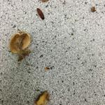 Tesco complaint!!! Found this Barry in my bag of nuts #maggot @Tesco @BBCBristol @TheSunNewspaper @imacelebrity http://t.co/Dnz1CdtAV0