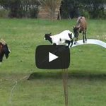 Critter feed: Video of goats bouncing on a metal sheet: http://t.co/Wa8vxiMKx2 http://t.co/nhTFmTH17H