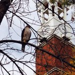 Fantastic picture! MT @Nys188: I love seeing animals on campus! #nature #coopershawk #wildlife #wildlifePhotography http://t.co/nKgRM1h1fj
