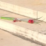 NEW: Poignant tribute: A single rose sits at the foot of #ldnont Cenotaph. #OttawaStrong @CTVLondon http://t.co/QoY58F1UhD