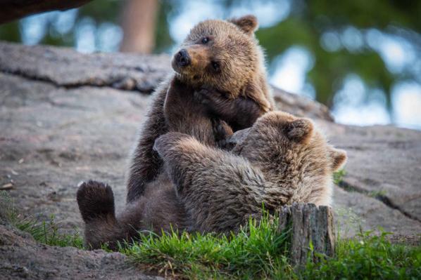 lotta tra due cuccioli di orso diventa un meraviglioso incontro di wrestling http://t.co/jdGWSz4hpm http://t.co/kuXTbTYBg6 #iostocondaniza