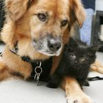 RT @KGWNews: Boots the dog nannies adoptable kittens http://t.co/vWEFqWICRC http://t.co/K8YdBXi7aN