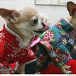 Pet pampering is big business in #China. The industry is worth $1.5 billion! http://t.co/9PZ3rbupXD http://t.co/QM4ZTTfsQs