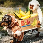 RT @guardian: Dachshunds in costumes – in pictures http://t.co/TgfhlVI4L3 http://t.co/wIHDeV4c93
