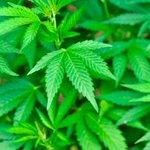 RT @Radio970AM: #Ciencia970 La marihuana no influye en el intelecto, según científicos http://t.co/HnVhdRyIk2 http://t.co/BUSAj3gYKs