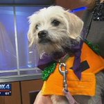 Take this pumpkin home from the @spcaoftexas today... 1yr old Gracie is a Lhasa Apso / Chihuahua mix. http://t.co/nozomjiMZE
