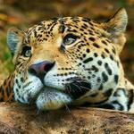RT @canaltn8: #TendenciaTN8 #Nicaragua Ejemplares del magnífico yaguar, jaguar o yaguareté. Es el felino americano de mayor tamaño. http://t.co/J3qHALTzjf