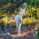 #FanFriday #AlbinoDeer spotted again in #Monterey by Amanda Marlow. It caused a local media sensation, born 2 yrs ago http://t.co/g0DoMwlKKm