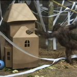 ADORABLE RAW VIDEO: Orangutans celebrate Halloween at #Pittsburgh Zoo http://t.co/OB7ad0fquh http://t.co/ZlQREH1Izu