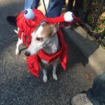 RT @BuzzFeed: THERE IS A DOG HALLOWEEN PARADE IN NYC TODAY!! Tweet us pics of your pets dressed up. http://t.co/t4uXPGAUw7