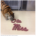 RT @CollegeGameDay: LSUs Mike the Tiger eats Ole Miss: http://t.co/FAckCbmtal http://t.co/WzvWz3FwiR