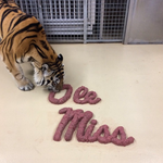 LSU's live tiger mascot got an Ole Miss-shaped meat dinner: http://t.co/LisNWkuFp0 http://t.co/EzNcXpHCl1