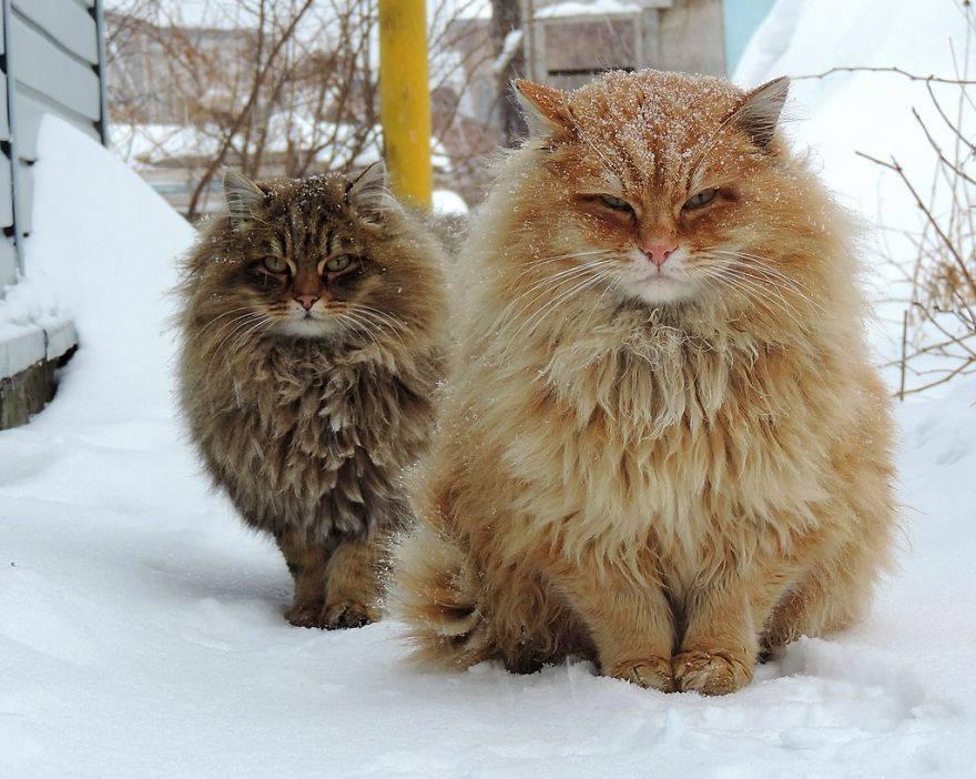 Siberian Cats: http://t.co/k0TuVkevy3