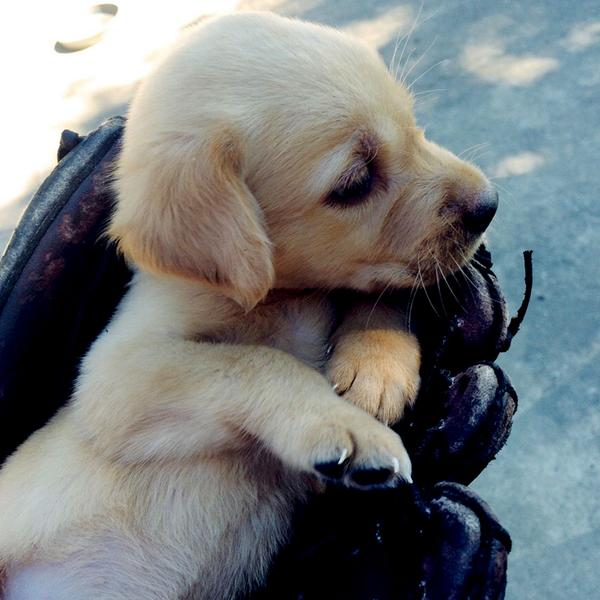 Puppies in baseball gloves ='s pure #happiness http://t.co/fWhvVw2JDl