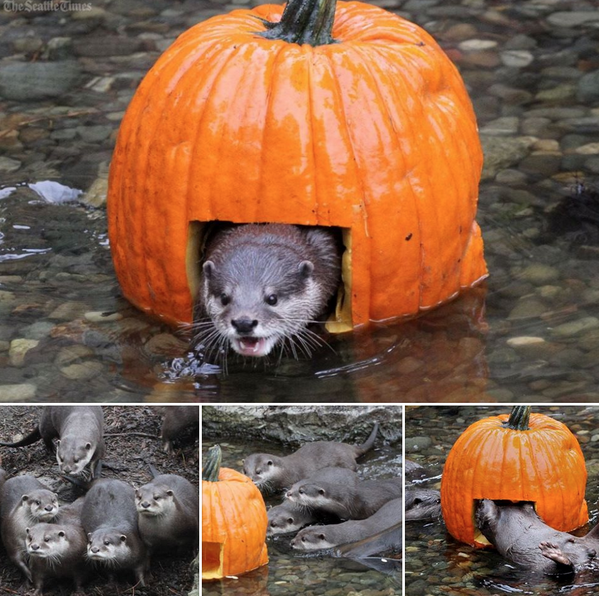 Cooper Fleishman (@_Cooper): Otters play with pumpkins at Seattle's Woodland Park Zoo: http://t.co/uvK9TWK9hR http://t.co/Zpy91WQVyY